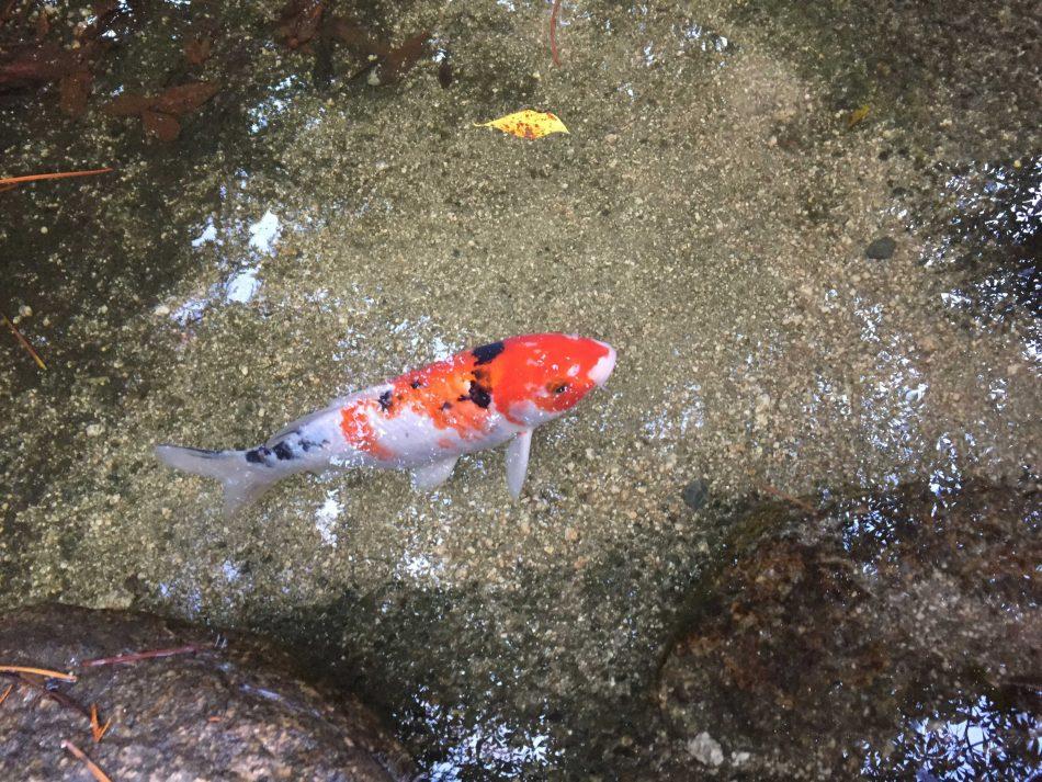 透明な池で泳ぐ鯉。さすが広島!